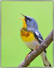 Singing Northern Parula (View Large) (RKop) Tags: d500 nikkor600f4evr 14xtciii huestonwoodspark raphaelkopanphotography ohio handheld iso400f561640 warblers warbler
