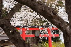 Sakura in Japan (kat-taka) Tags: ã¬ãã sakura flower flowers shrine red japan japanese nature watcher spring tree