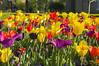 Tulip Color Extravaganza (aaronrhawkins) Tags: tulip flower pedal stem patch spring color bright yellow purple templesquare temple saltlakecity saltlake utah aaronhawkins