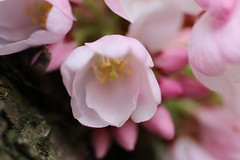 Spring soft colors (TonusLiving) Tags: macrophotography macro photography canon80d softness bloom tree nature pastel shades pink blossom cherryblossom flowers spring