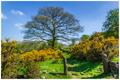 They call me Mellow Yellow. (Ian Emerson) Tags: gorse bush yellow outdoor peakdistrict post wall tree spring heat 25degrees roaches beauty landscape grass greenery canon photography scenery clouds hiking staffordshire england training