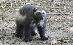 Wolverine Cub (blue33hibiscus) Tags: wolverine cub young cotswoldwildlifepark burford oxfordshire