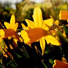 Tulips at sunset (sonjawitting) Tags: astoundingimage sunandshadow macroflower macrophotography flowersphotography flowers naturedetails nordicgarden nordicbeauty astoundingimages tulipsatsunset tulips