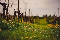 Along the Grapevine (michaels43) Tags: dandelions grapevines denbies dorking fujixt2 uk