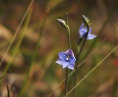 Orchids, Grampians National Park, Victoria, Australia (Red Nomad OZ) Tags: grampians victoria australia orchid flower grampiansnationalpark