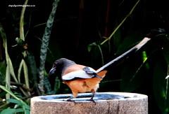 DSC01051 Rufous Treepie (Dendrocitta vagabunda) (vlupadya) Tags: greatnature bird animal aves fauna indianbirds rufous treepie dendrocitta kundapura karnataka