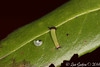 Charaxes jasius (Linnaeus, 1767) (Luís Gaifém) Tags: charaxesjasius nymphalidae borboletadomedronheiro borboletaimperador twotailedpasha foxyemperor mariposadelmadroño nymphaledelarbousier pachaàdeuxqueues jason jasius papallonadelarboç erdbeerbaumfalter ninfadelcorbezzolo tigrislepke jasiusvlinder pasja хараксевропейский sulttaaniperhonen luísgaifém macro natureza nature lepidoptera borboleta butterfly pbgaia