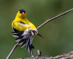 The Look... (ragtops2000) Tags: goldfinch american branch preening colorful feathers tail display detail eyes contact spring background perch portrait migration forest green yellow white black