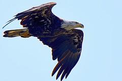 Bald Eagle (Haliaeetus leucocephalus) (JRWhitaker1) Tags: delaware bombayhooknationalwildliferefuge birdinflight bird birdofprey raptor haliaeetusleucocephalus baldeagle