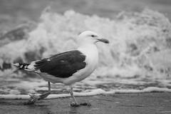 Seagull walking near water