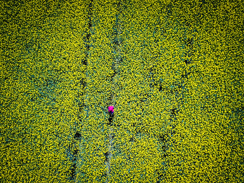 Rapeseed Fields above