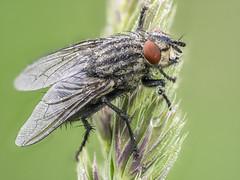 2018-05-20 10-39-00 (C) (turbok) Tags: fliegen insekten tiere wasserantieren wassertropfen c kurt krimberger