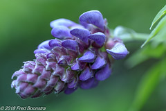 "Our other ""Wisteria"" is almost blooming.... (Fred / Canon 70D) Tags: wisteria blauweregen garden macro closeup eefde ef100mmf28lmacroisusm canon70d canoneos canon"