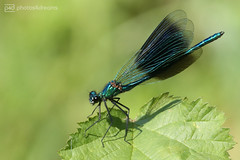 beautiful demoiselle (photos4dreams) Tags: gersprenz münster hessen germany naturschutz nabu naturschutzgebiet photos4dreams p4d photos4dreamz nature river bach flus natur pur susannahvvergau