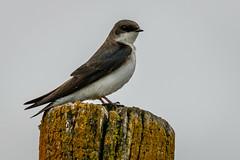 Tree Swallow (jrp76) Tags: treeswallow tachycinetabicolor bird white black blue