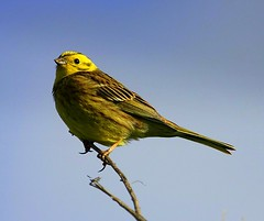 Cock Yellowhammer (Chris Baines) Tags: male yellowhammer suffolk