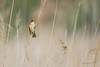 Rousserolle turdoïde - Acrocephalus arundinaceus (Réserve naturelle de sebes, Espagne) 07 mai 2018 (ÇhяḯṧtÖρнε) Tags: 1800s 1250iso 500mm acrocephalidés acrocephalusarundinaceus canon catalogne espagne españa flix greatreedwarbler passériformes rousserolleturdoïde rousserolleturdoïdeacrocephalusarundinaceus réservenaturelledesebes tarragone bird f40 oiseau