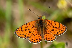 Mélitée orangée (Melitaea didyma) (fra298) Tags: melitaeadidyma insecte animal macro papillon faune canonef100mmf28macrousm canoneos70d
