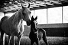 Mother and Son (Jen MacNeill) Tags: blackandwhite horse horses mare foal dam colt baby animal animals equine bnw bw arabian rozearabians arabians light shadow mother