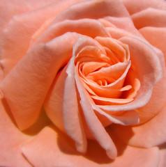 Rose (Colorado Sands on autumn break) Tags: rose flower denver colorado usa sandraleidholdt bloom blossom plant floral