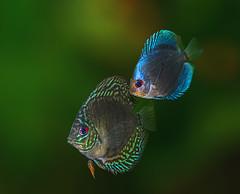 Discus Blue Diamond and Brilliant Turquoise (Bojan Žavcer) Tags: discusbluediamond brilliantturquoise discus blue diamond brilliant turquoise aquarium macro animal fish sonyilce7r fe90mmf28macrogoss ngc greatphotographers