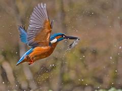 Kingfisher (coopsphotomad) Tags: kingfisher fishing fish bird animal animals flight fly water blue orange bokeh nature wildlife wild canon