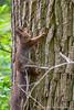 Eekhoorn, squirrel (Ger van Beek) Tags: eekhoorn natuurgebieden wamberg zoogdieren berlicum noordbrabant nederland nl