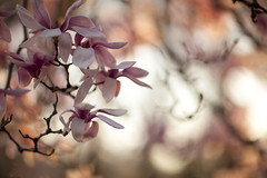 another day in paradise (Lamson**NG) Tags: magnolia pink spring flower floral season light lamson paradise sunset