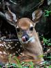 rude fawn (fins'n'feathers) Tags: deer whitetaileddeer fawn baby whitespots rude tongue sassy ears bigears beidlerforest southcarolina lowcountry fourholeswamp animal wildlife mammal