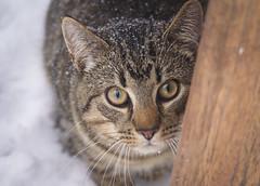 Cat in the snow (Ms Lowlands) Tags: cat kat kedi hayvan animal dier huisdier pet tiger tekir tijger tabby