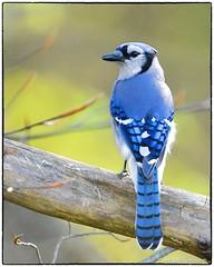 Blue Jay (RKop) Tags: cincinnati californiawoodspark ohio raphaelkopanphotography d500 nikkor600f4evr 14xtciii