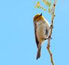 Verdin (Auriparus flaviceps); Catalina, Arizona [Lou Feltz] (deserttoad) Tags: nature arizona animal bird songbird verdin tree desert behavior