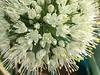 Morning Garden Delights💐 (Chic Bee) Tags: closeup macro flowers whiteflowerball flowercluster allium redonion sooc tucson arizona southwesternusa americansouthwest