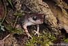 Montane Large-eyed Frog (Leptobrachium montanum) (Steven Wong (ATKR)) Tags: steven wong siew por atkr45 stryker wsp atkr herp herping malaysia montane largeeyed frog leptobrachium montanum