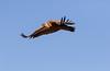Buitre Leonado (Gyps fulvus) (Elprimodeheman) Tags: accipitriformes de vuelos fotografia rapaces aves buitreleonadogypsfulvus lugares animales hide birding bird birdwatching vogel raptors