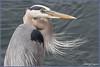 GBH Portrait 1466 (maguire33@verizon.net) Tags: bolsachica bolsachicaecologicalreserve greatblueheron bird heron wetlands wildlife huntingtonbeach california unitedstates us