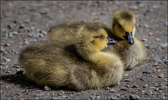 Golden Balls of Fluff (Martin Smith - Having the Time of my Life) Tags: canadagoose goslings brantacanadensis reifelbirdsanctuary westhamisland delta martinsmith ©martinsmith nikond500 birds britishcolumbia canada ca