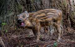 JWL2844  Twiglet! (jefflack Wildlife&Nature) Tags: wildboar boar boars piglets pigs wildlife woodlands forest hedgerows forestofdean countryside nature ngc npc coth5