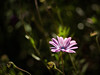 Going Solo... (Eddy Summers) Tags: breenhold breenholdgardens autumn bluemountains pentax pentaxk1 k1captures vibrant colourful australia nsw petals flower flowers