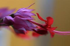 Nature´s perfection (alestaleiro) Tags: flor macro detail fiore bokeh flower alestaleiro