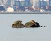 Harbor Seals (Shayna Marchese) Tags: harborseal jerseycity