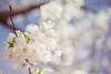 CherryBlossoms2018-14 (EmilyPostPhoto) Tags: cherryblossoms highpark cherrryblossom toronto