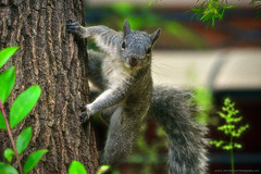 "GraySquirrel_01 (DonBantumPhotography.com) Tags: wildlife nature birds animals greysquirrel squirrel ""donbantumphotographycom"" ""donbantumcom"" ""nikon d7200"" ""afs nikkor 200500mm f56e ed vr"""