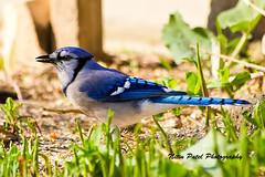 IMG_6141 (nitinpatel2) Tags: bird nature nitinpatel