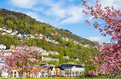 Cherry blossom (2000stargazer) Tags: bergen norway fløyen city sityscape cherrytrees springtime spring may landscape nature green pink canon canon5d cherryblossom