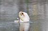 Mute Swan with her cygnet (lantanact) Tags: mute swan cygnet