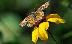 Vesta crescent (justkim1106) Tags: butterfly lepidoptera wingedinsect insect wings nature bokeh animal naturebokeh beyondbokeh patterns naturepatterns wildflower vestacrescent checkeredpattern checkerspot