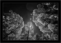 Garafia, La Palma, Islas Canarias, Sony A7R IR, Voightländer Heliar Hyper Wide 10mm/5.6 (Bartonio) Tags: canaryislands garafía infrared ir islascanarias lapalma landscape modified nature paisaje pinar sonya7rir voightlander10mm56