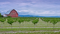 Barn and Orchard 8807 B (jim.choate59) Tags: barn orchard jchoate on1pics cloudy corvallisoregon willamettevalley rural agriculture mountains cascademountains d610