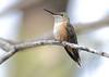 Broad-tailed Hummingbird -- Female (Selasphorous platycercus); Santa Fe National Forest, NM, Thompson Ridge [Lou Feltz] (deserttoad) Tags: wildlife nature newmexico behavior flight desert bird wildbird hummingbird mountain nationalforest